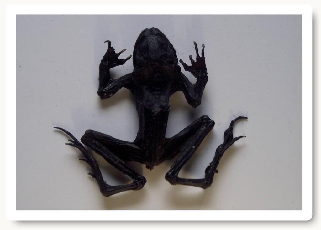 broasca folosita in magie neagra